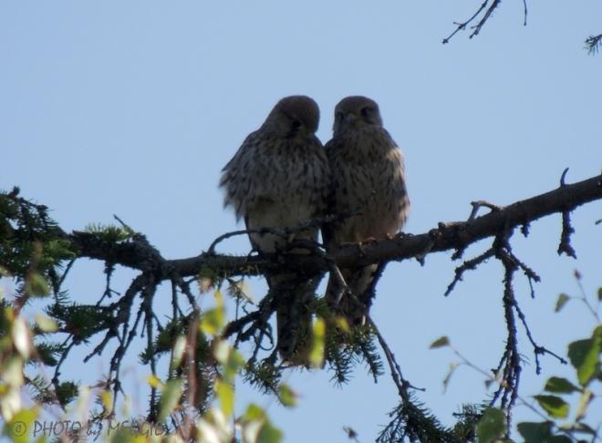 Två små fåglar på en gren